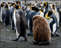 012-King Penguin With Juvenile